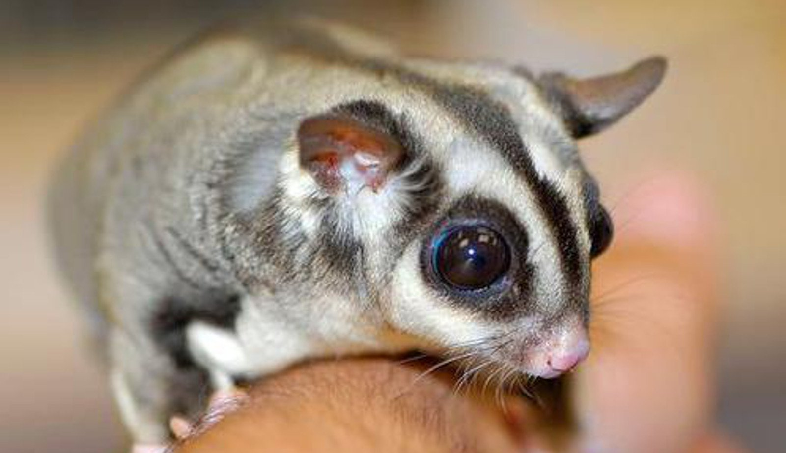 sugar gliders size - Anta.expocoaching.co