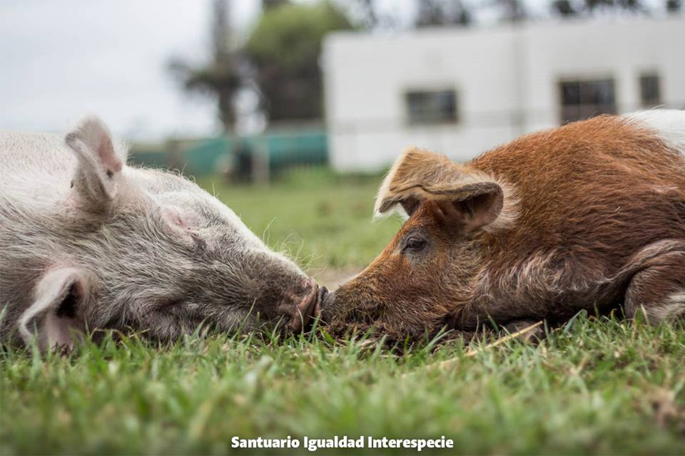 Two Rescues Pigs Share an Intimate Moment, Showing There's Much More to These Animals Than We Think