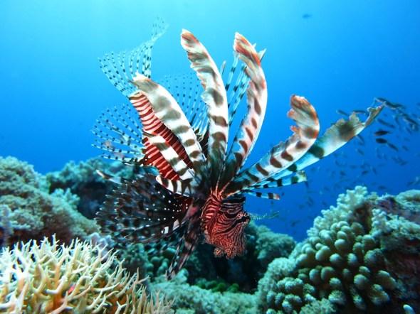 lionfish-1430225_1280