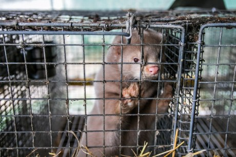 WTH?! This Farm Neglects Minks, Then Slaughters Them for Their Fur – Help Put An End to This NOW!