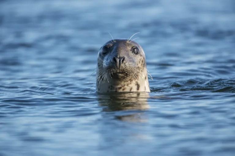Scotland Bans Seal Hunting and Shooting