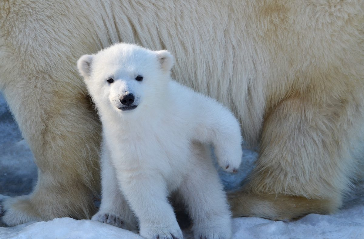 Polar Bear Dens in the Arctic Threatened by Oil Industry