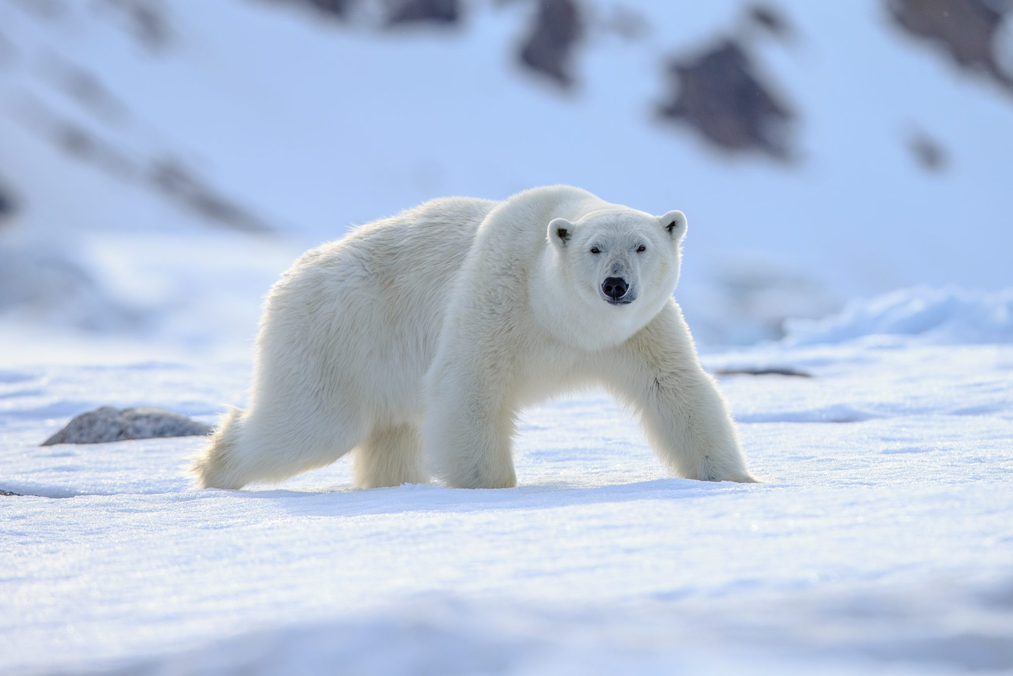 Petition: Ban Polar Bear Trophy Hunting