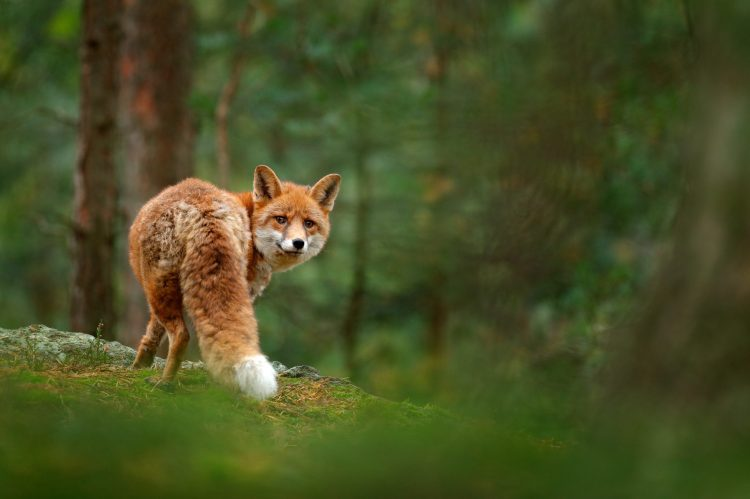 Petition: Foxes Found Dead, Shot With Crossbows in London
