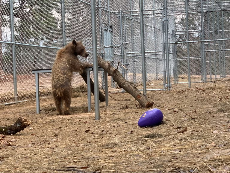 Eve the Hairless Bear Celebrates One Year at Sanctuary!