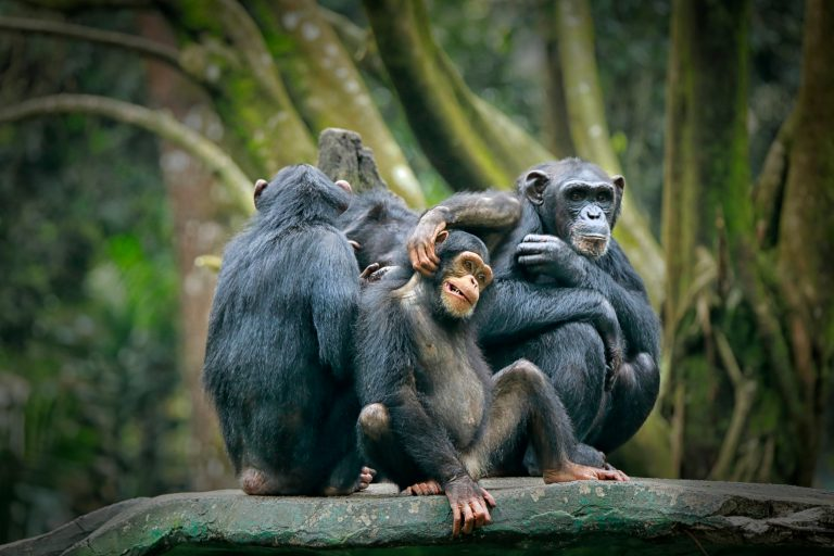 Petition: 32 Chimpanzees Stranded and in Desperate Need of Shelter!