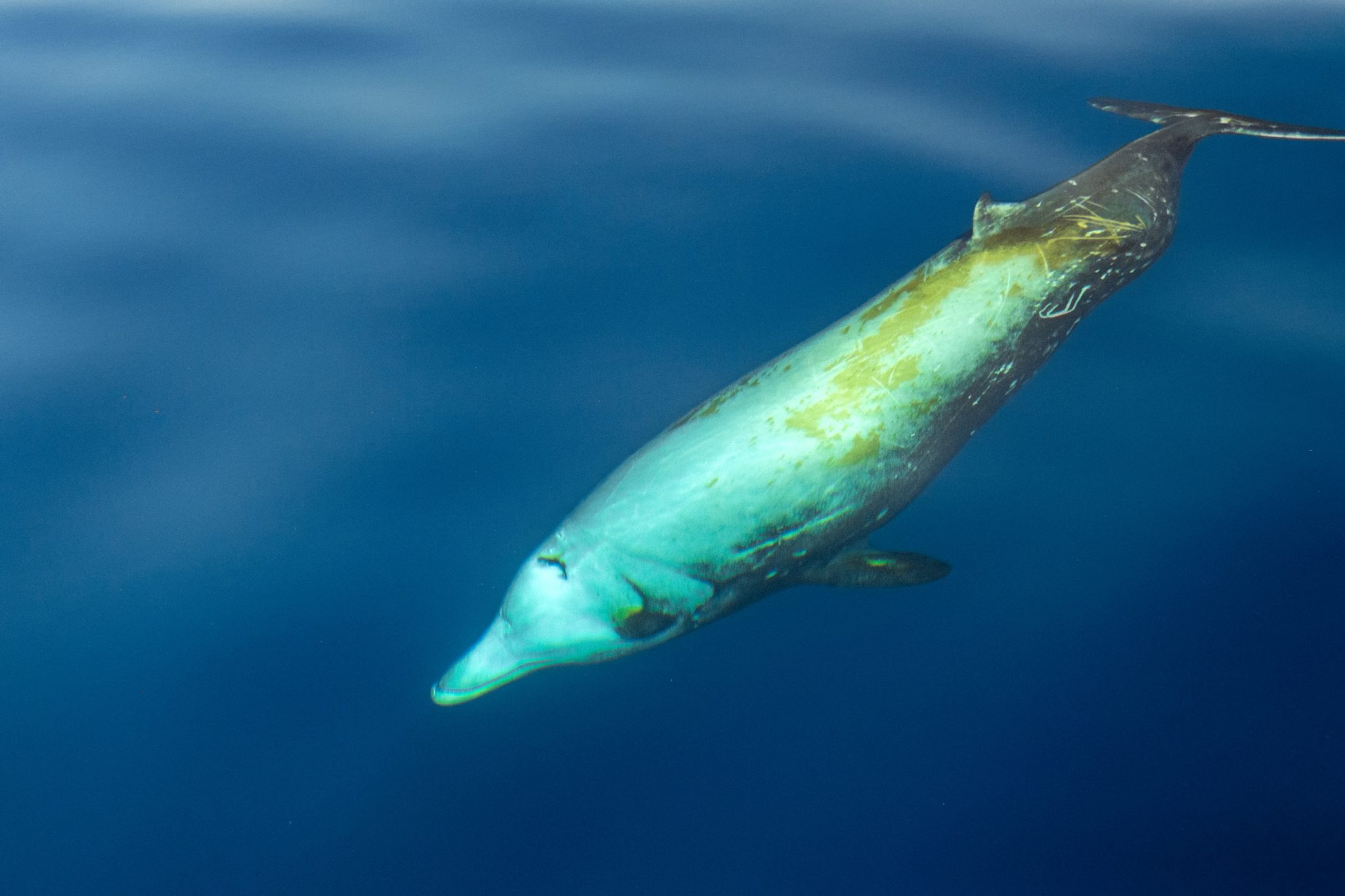 Petition: A New Species of Beaked-Whale May Have Just Been Discovered