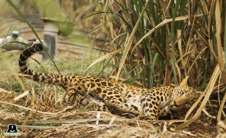 Jaw Traps and Snares: The Terrible Threat to India's Wildlife