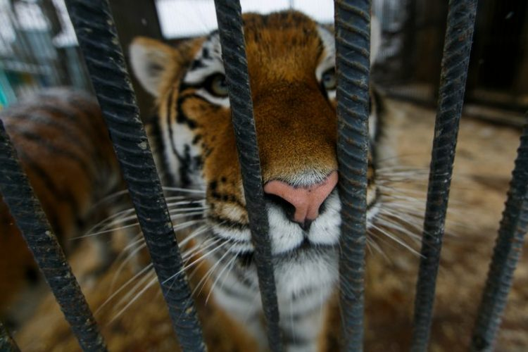 Pet Tiger and Bobcat Found in Texas Homeowner's Garage