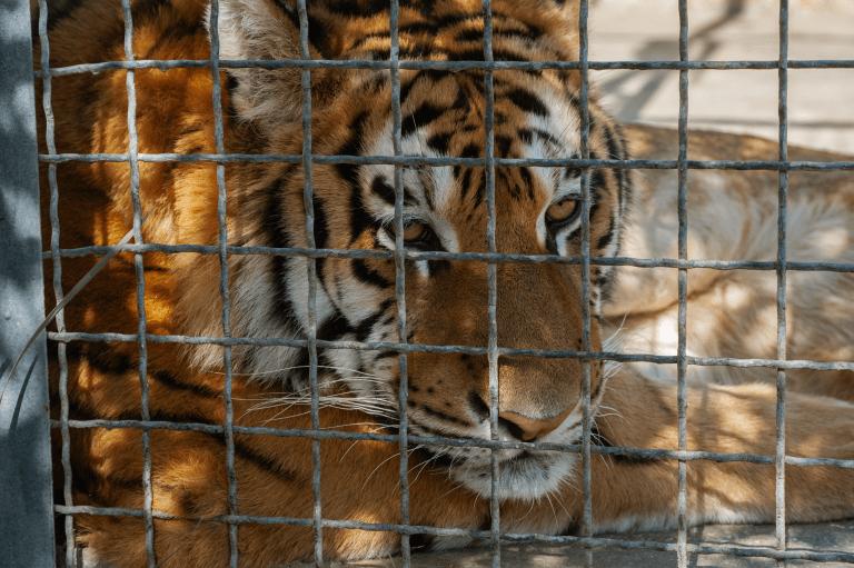 Texas Tiger Found Wandering Neighborhood Arrives at Black Beauty Ranch