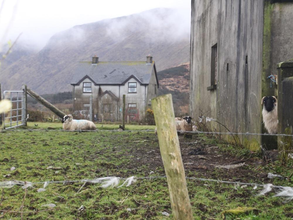 Ardgroom schapen