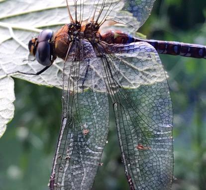 Libelle ingezoomd