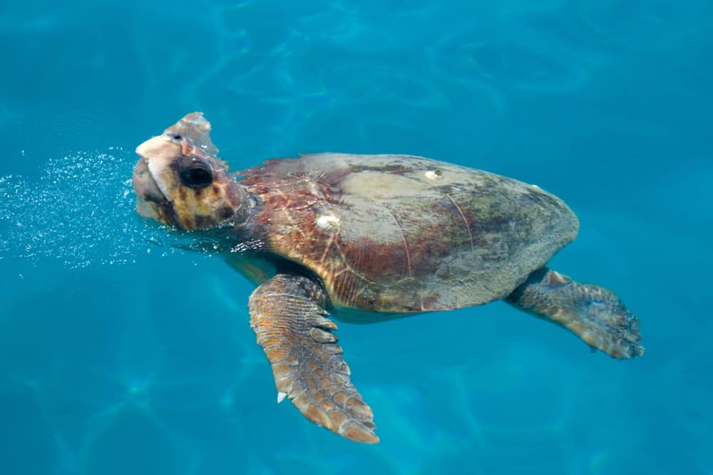 zeeschildpad Zakynthos