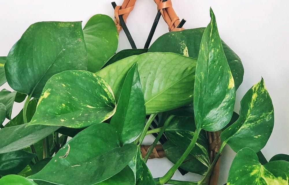 Plantentopper: de Scindapsus Epipremnum (luchtzuiverend! + 13x inspiratie)