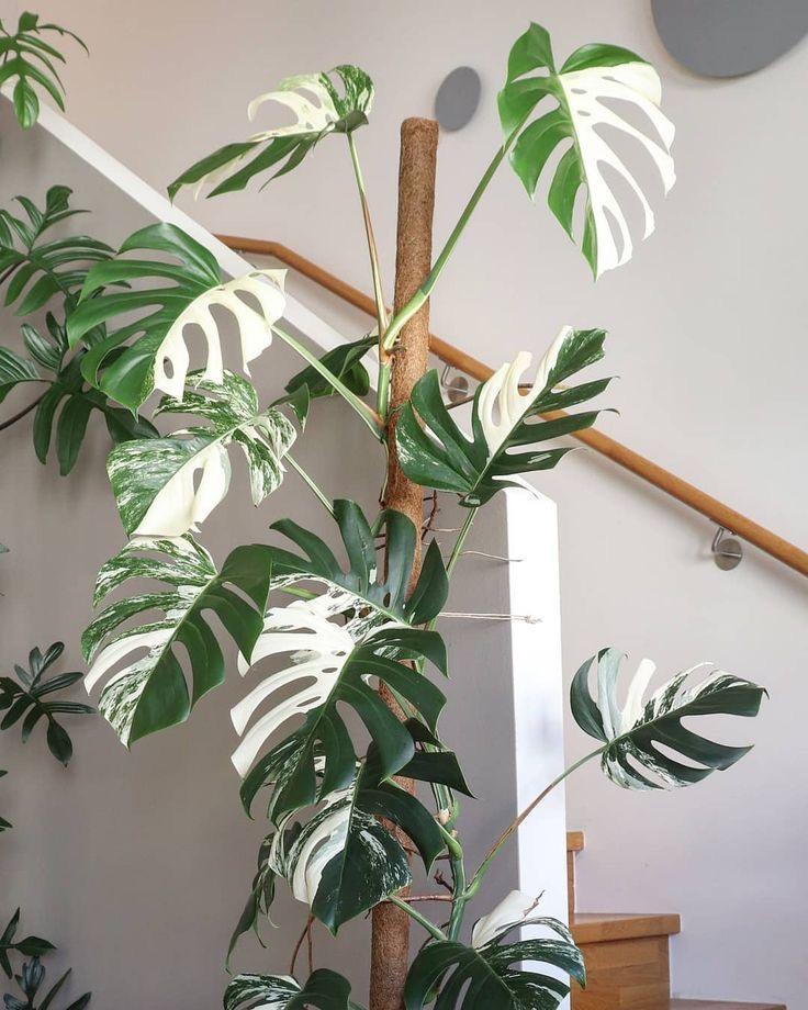 Witte gatenplant