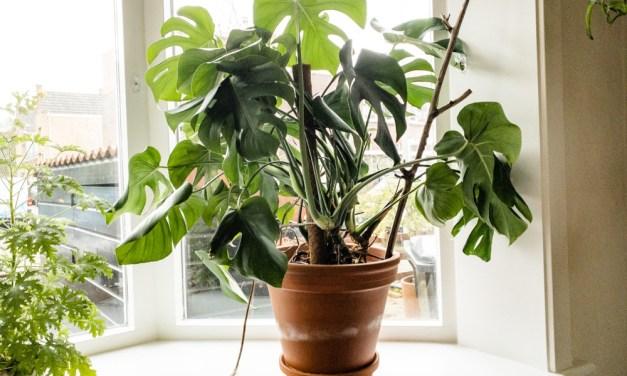 Wat zijn luchtwortels en waar dienen ze voor (Monstera plant)