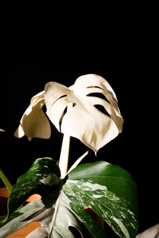 albino monstera blad