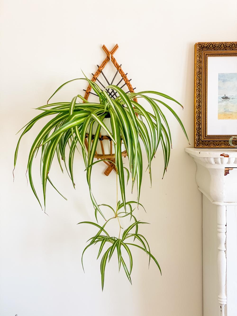 spinnenplant stekken