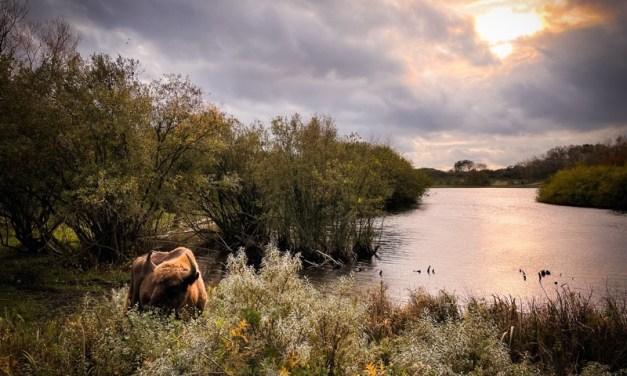 Wandeltip: het wisenten uitkijkpunt in Middenduin (Overveen/Haarlem)