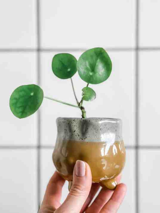 pannenkoekplant stekje