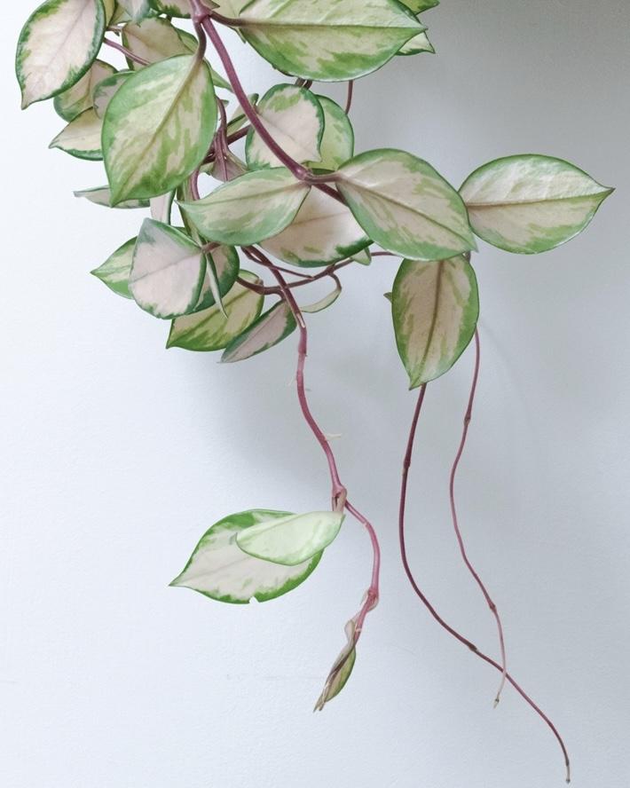bijzondere hangplanten