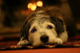 dog older face