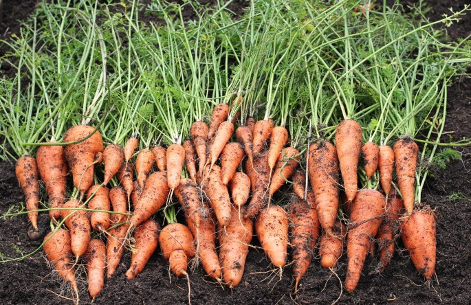 427 - CARROTS WITHOUT TOPS (click image to view)