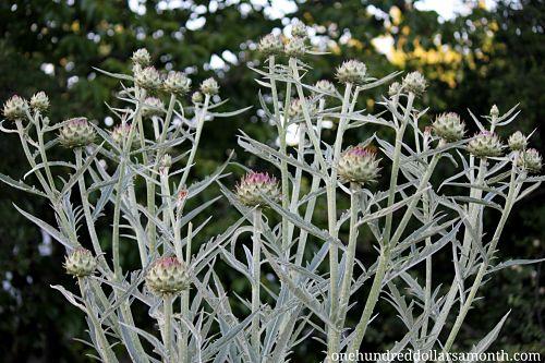 artichoke plant