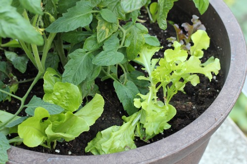 mavis garden blog vegetable container gardening one hundred dollars a month. Black Bedroom Furniture Sets. Home Design Ideas