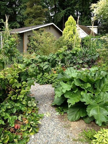rhubarb  raspberries garden path