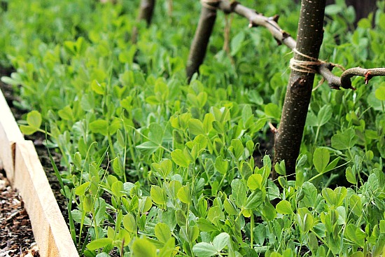 how to support dwarf peas
