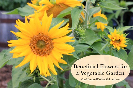Beneficial-Flowers-for-a-Vegetable-Garden-to-Deter-Pests-and-Attract-Good-Bugs
