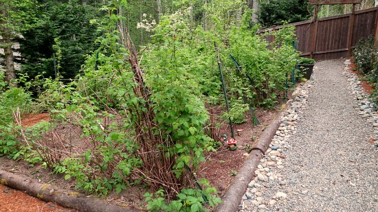 western washington raspberry canes plants