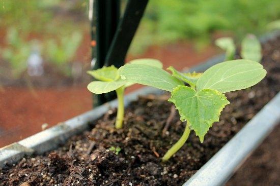 cucumber seedslings