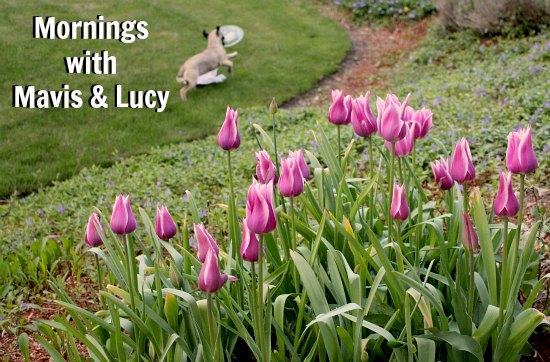 mornings with mavis purple tulips