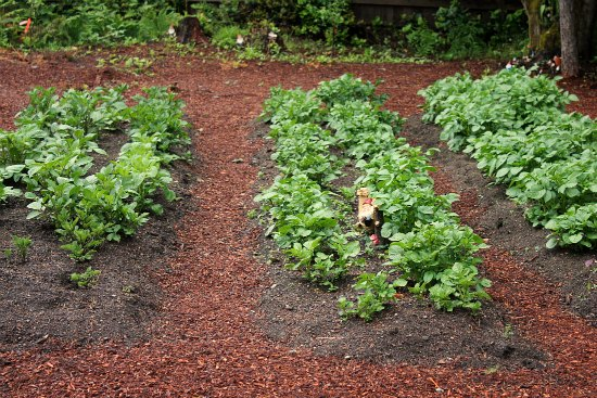 potatoes in raised garden beds