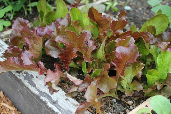 raised bed gardens lettuce