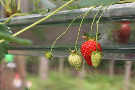 strawberries in gutters