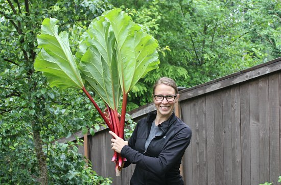 how to harvest rhubarb mavis