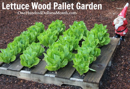 recycled wood pallet gardens lettuce