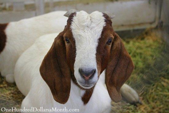 long eared goat
