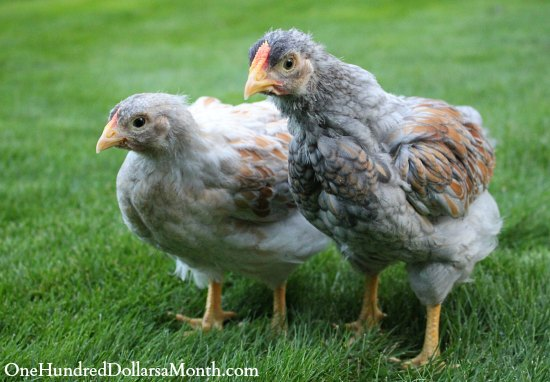 Blue Laced Red Wyandotte chicken chicks