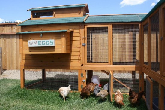 chicken coop and chickens