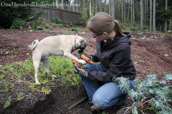 lucy the puggle dog carrot