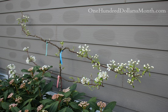 espalier pear tree