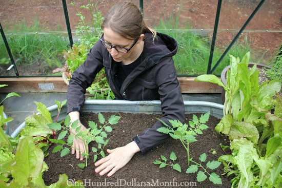 planting tomatoes in a ginat tub