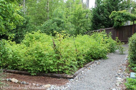 cascadia raspberry plants