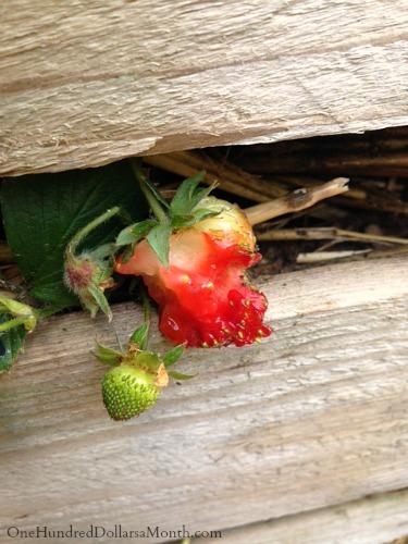 slugs eating my strawberries