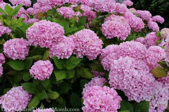 How To Change To Color Of Your Hydrangea Plants One