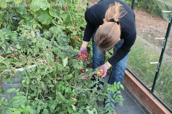 growing tomatoes in a greenhouse